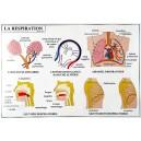 Le corps humain : le système nerveux et la respiration 102x70 cm