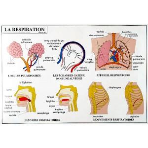 Le système nerveux et la respiration (2 faces)
