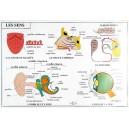 Le corps humain : les 5 sens et l'excrétion 102x70 cm